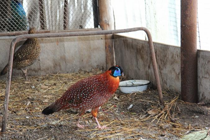 Фазаны – разведение и содержание в домашних условиях для начинающих, инкубация яиц