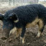 Особенности волосатых свиней