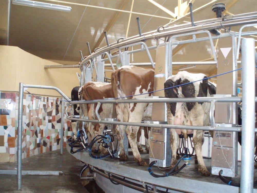 Как доить корову руками и доильным аппаратом