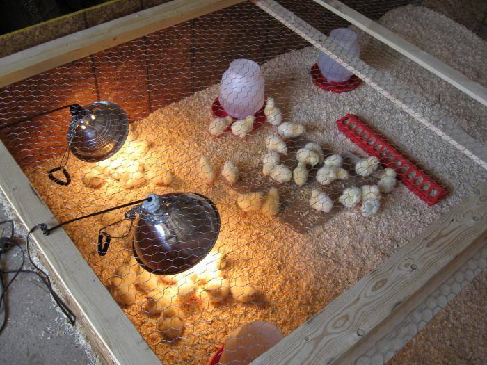 Выращивание цыплят - уход за цыплятами в домашних условиях