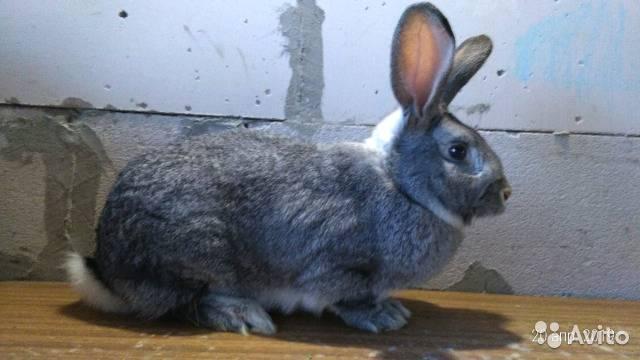 Кролик шиншилла (советская) — описание породы, характеристика и особенности разведения