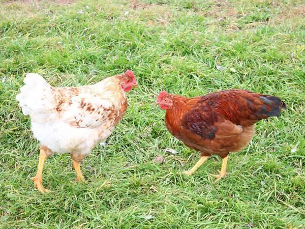 Что делать, если цыплята клюют друг друга до крови: советы, фото и видео