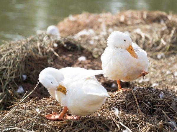 Утки черри-велли: описание породы, характеристика, фото