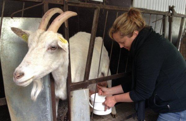 Разведение коз как бизнес: с чего начать и как преуспеть