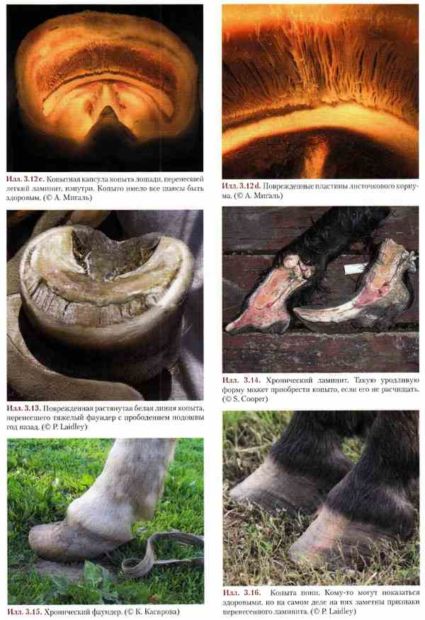 Копыта лошади: строение, уход, расчистка, болезни