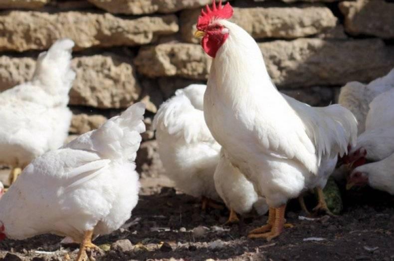 Мини-мясные куры: фото и описание породы, характеристики  и ее особенности в разновидностях- в76, белых в66, палевых в77 с присущей яйценоскостью