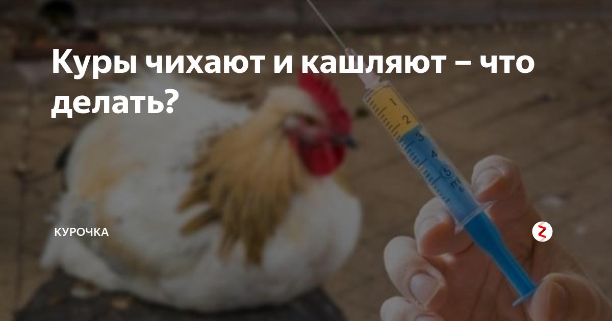 Цыплята чихают и хрипят — чем лечить