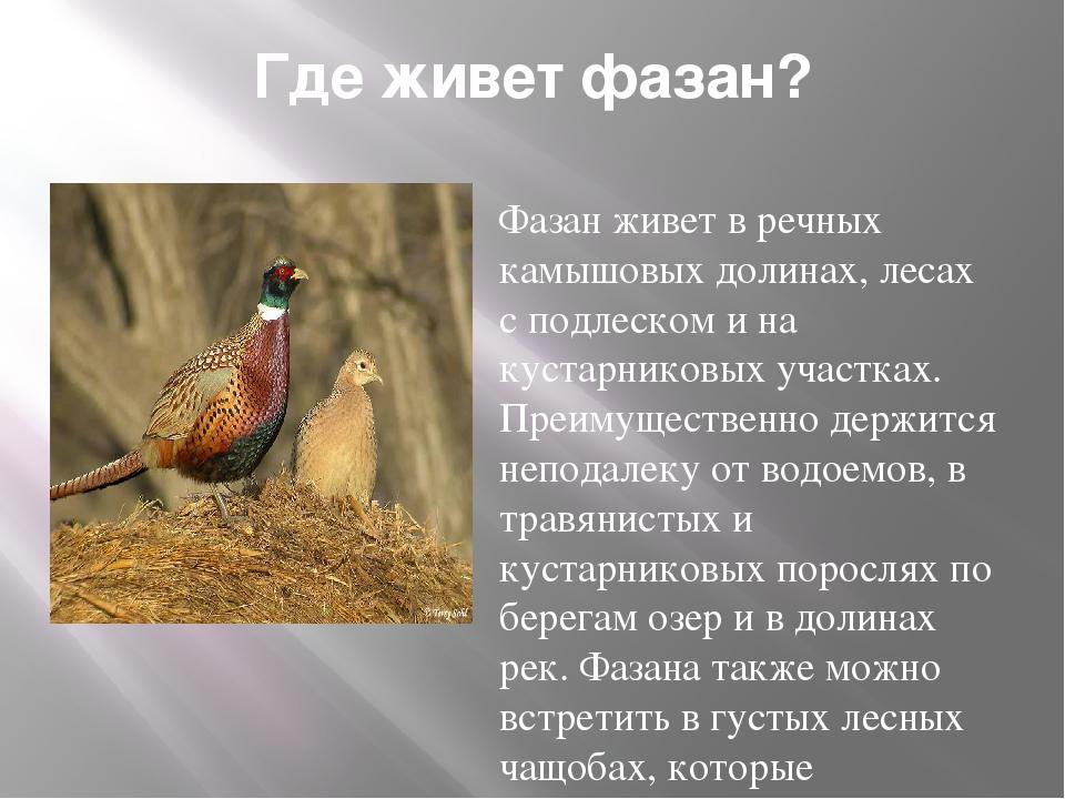Породы фазанов с фото и описанием для домашнего разведения