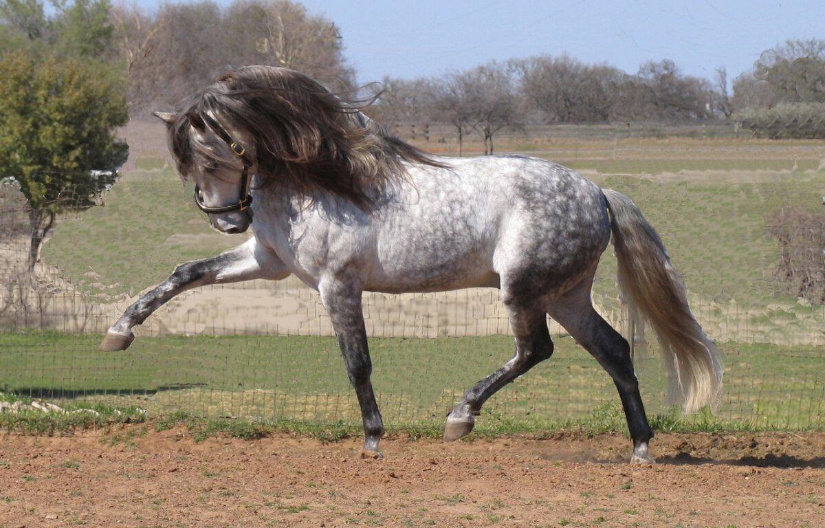 Андалузская лошадь - andalusian horse