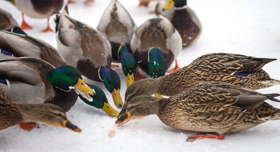 Чем кормить диких уток на пруду и можно ли давать хлеб