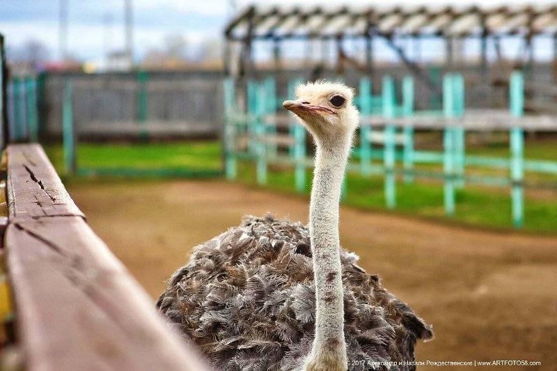 Содержание и разведение страусов в домашних условиях, как бизнес. пример бизнес-плана