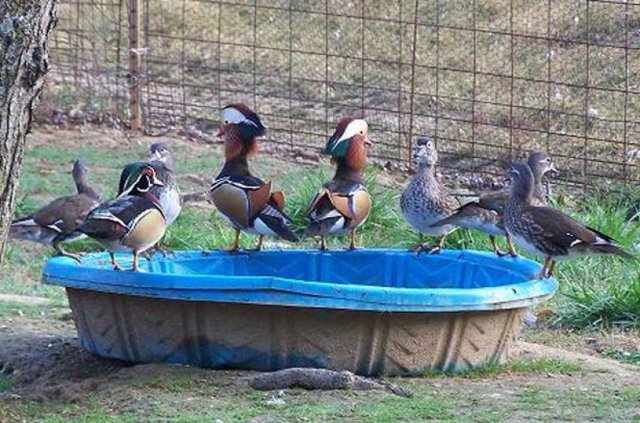 Утка мандаринка (фото, видео, описание)