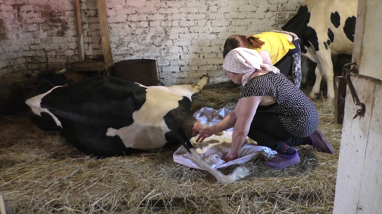 Роды у коров и рождение телёнка. как принять роды у коровы
