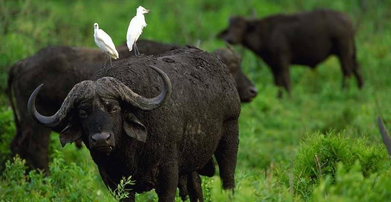 Африканский бык: породы крс, развитые в африке