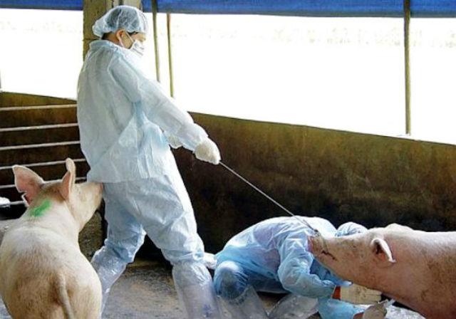 Рожа у свиней: симптомы и лечение в домашних условиях, профилактика