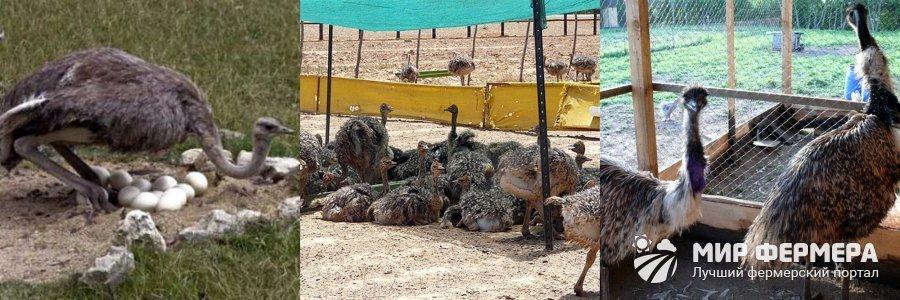 Разведение страусов в домашних условиях, цена выращивания