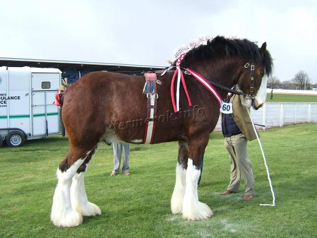 Шайр (английский тяжеловоз): фото и описание породы лошадей