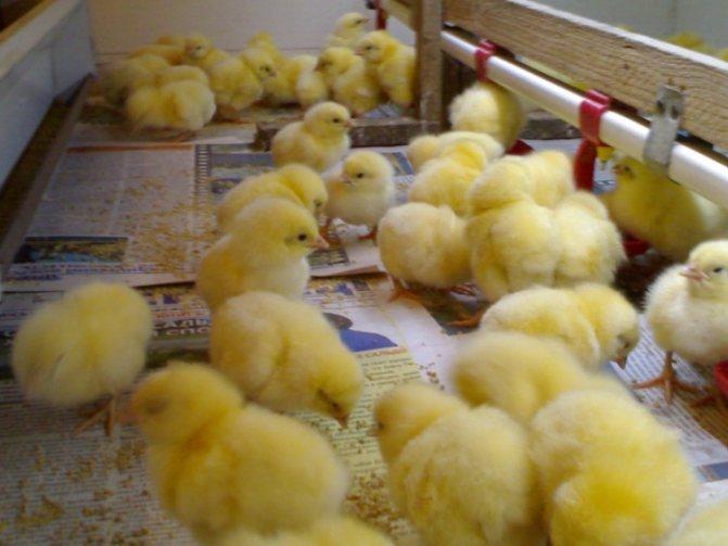О кормлении цыплят бройлеров в домашних условиях для быстрого роста