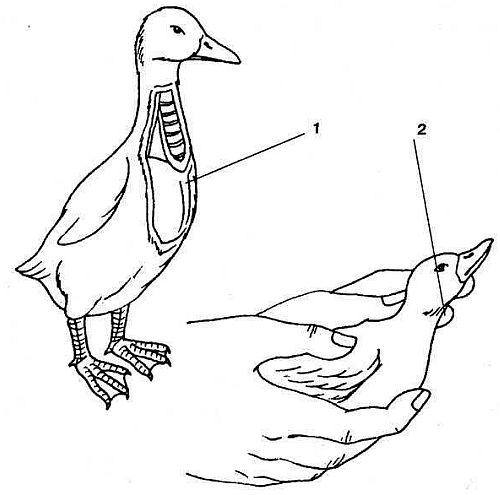 Различия между уткой и селезнем: определение половой принадлежности птиц
