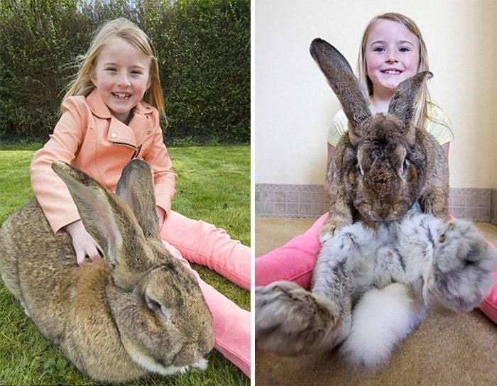 О самом большом кролике в мире: основные породы кроликов гигантов