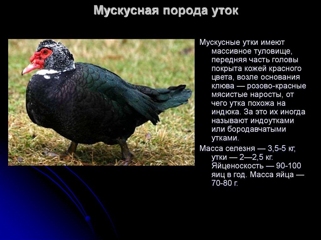 Утка – описание, виды, где обитает, чем питается, фото