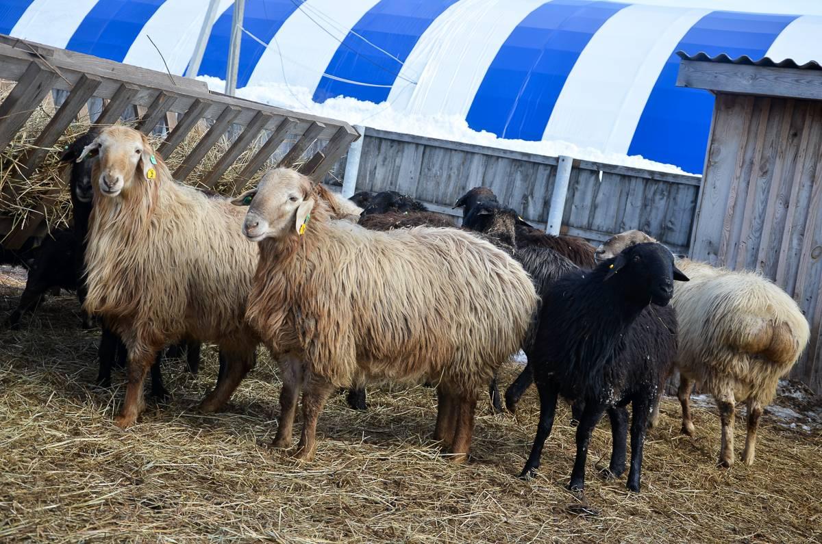 Курдючные овцы и бараны: преимущества и недостатки, правила содержания, популярные породы