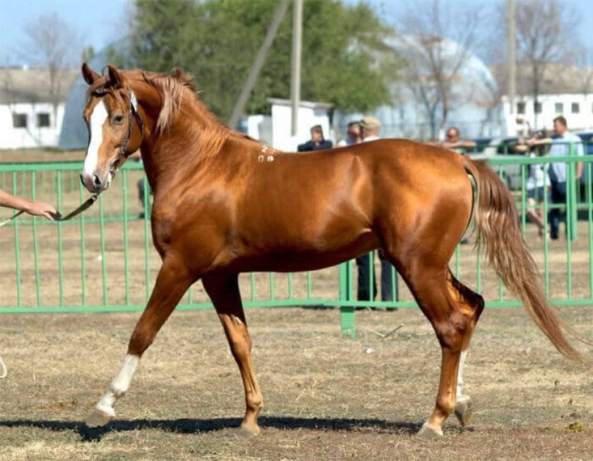 Буденновская порода лошадей: история создания, характеристика и содержание