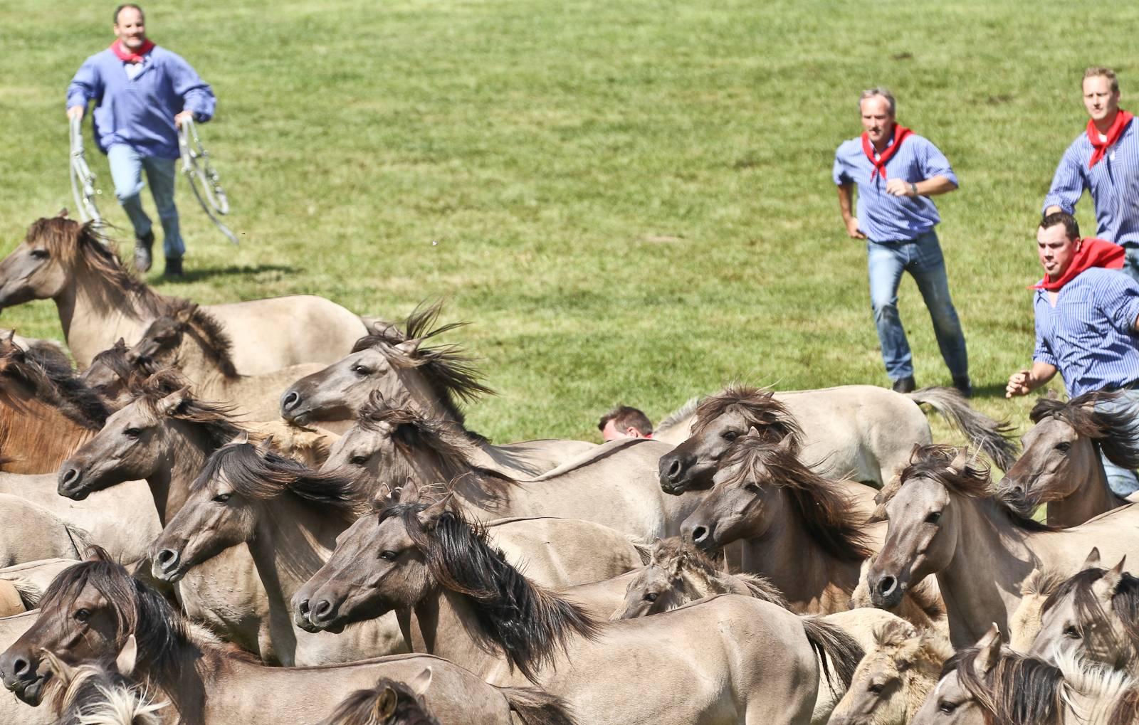 Лошадь иноходец: что такое иноходь и чем она отличается от других видов походи лошадей? каким породам свойственна иноходь?