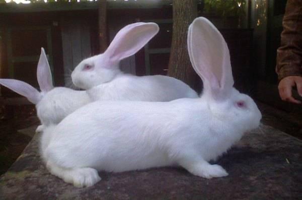 Кролики породы белый великан: характеристика и особенности разведения альбиносов