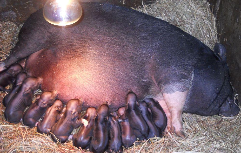 Биология и техника размножения свиней — cельхозпортал