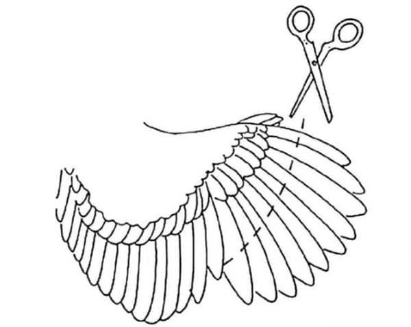 Как подрезать крылья курице, чтоб не летала
