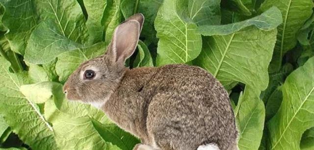 Можно ли кролику давать укроп: польза и вред, как правильно добавлять в рацион