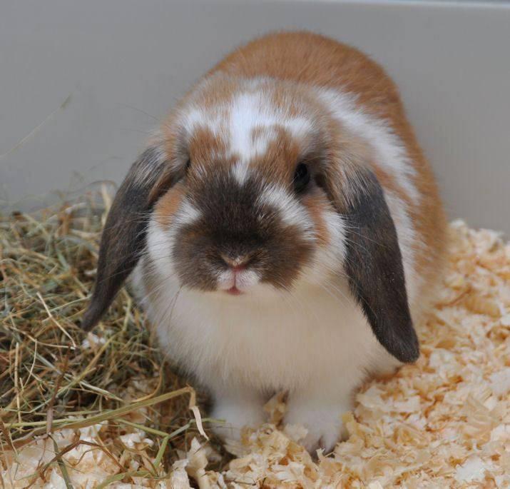 Вислоухий карликовый баран декоративный кролик
