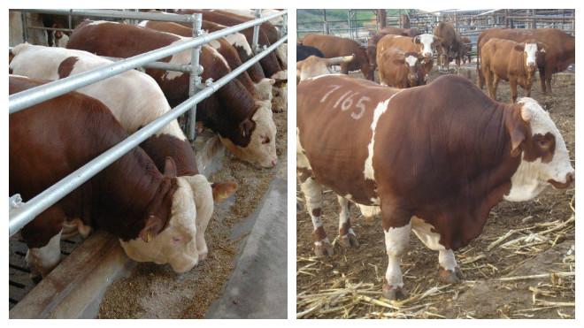 Разведение бычков для откорма на мясо в домашних условиях: первые шаги, рекомендации, таблица
