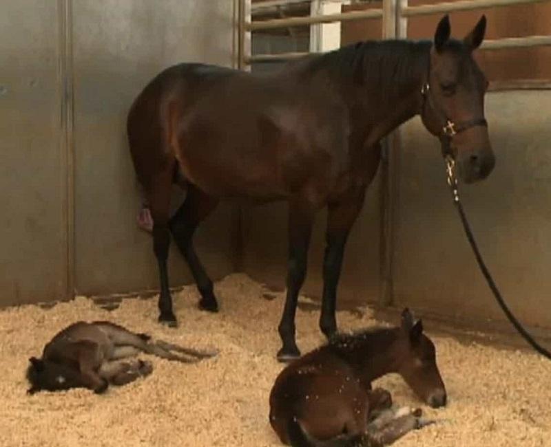 Сколько длится беременность у лошадей, как проходят роды