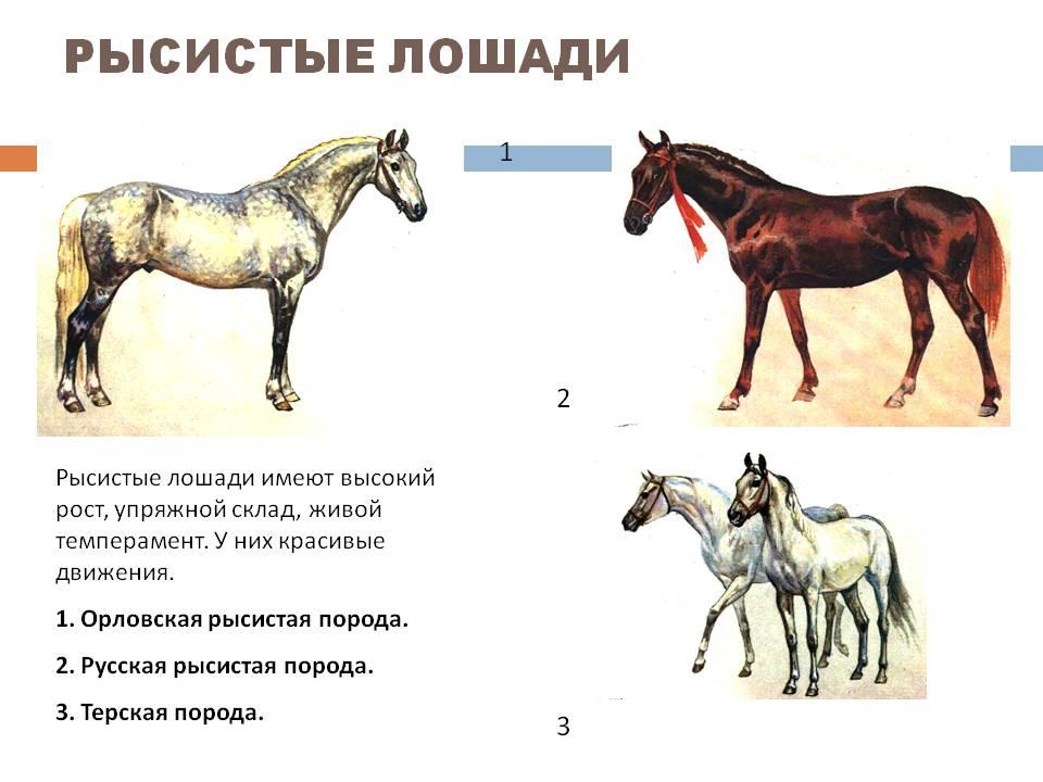 Русский рысак: описание породы, характристика, фото