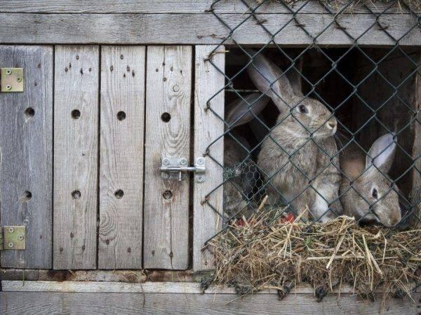 Чем обработать клетки кроликов от клеща. правильная дезинфекция клеток — залог здоровья кролей!