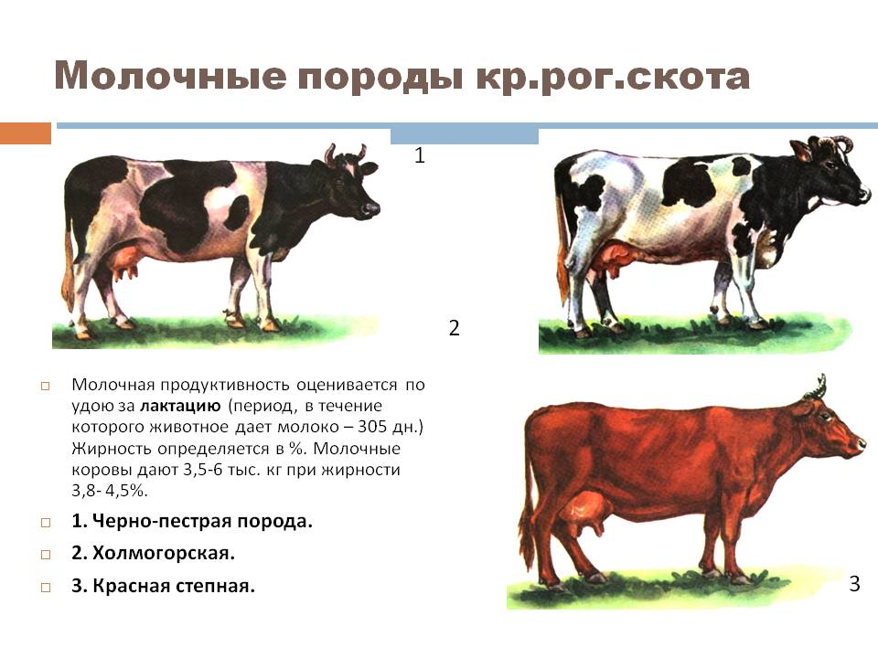Ярославская порода коров: характеристика, содержание и рацион