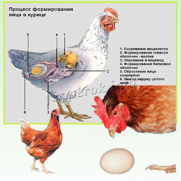 Как определить возраст курицы - различия кур по возрасту