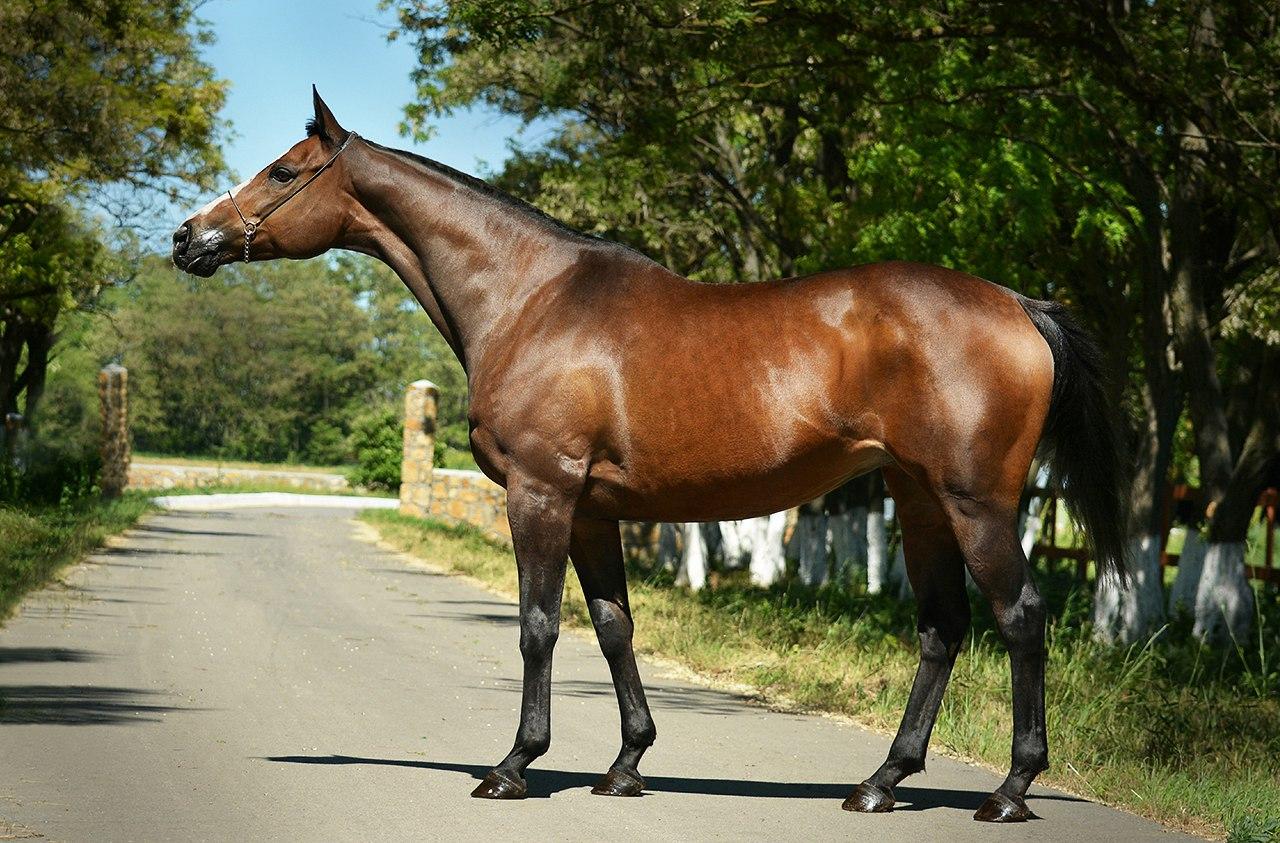 Чистокровная верховая лошадь - selo-expert