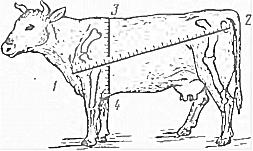 Вес теленка по месяцам: описание, как кормить