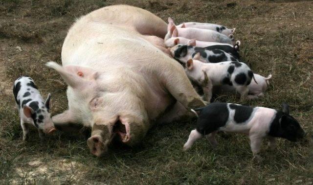 Сколько ходит беременная свинья — сроки и другие вопросы о супоросности