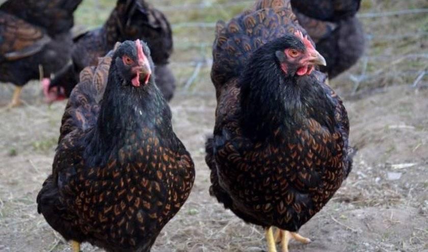 Порода кур барневельдер (41 фото): описание породы, особенности выращивания цыплят, отзывы владельцев