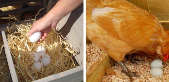 Яйца с тонкой скорлупой – как узнать причину проблемы и устранить ее?