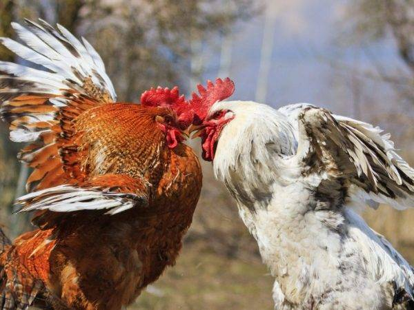 Цыплята клюют друг друга до крови– причины и методы решения