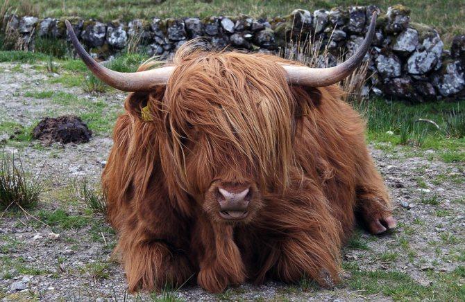 Плюшевая корова из штата айова: происхождение и особенности декоративной породы