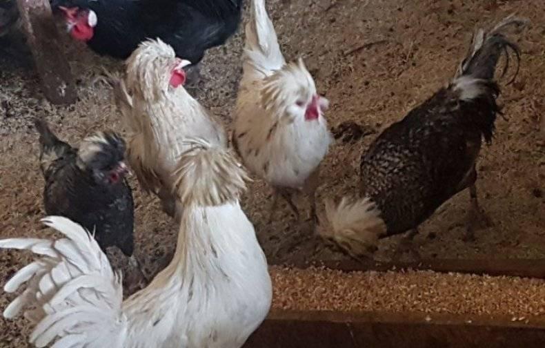 Корниш порода кур: описание, характеристика с фото и отзывами фермеров