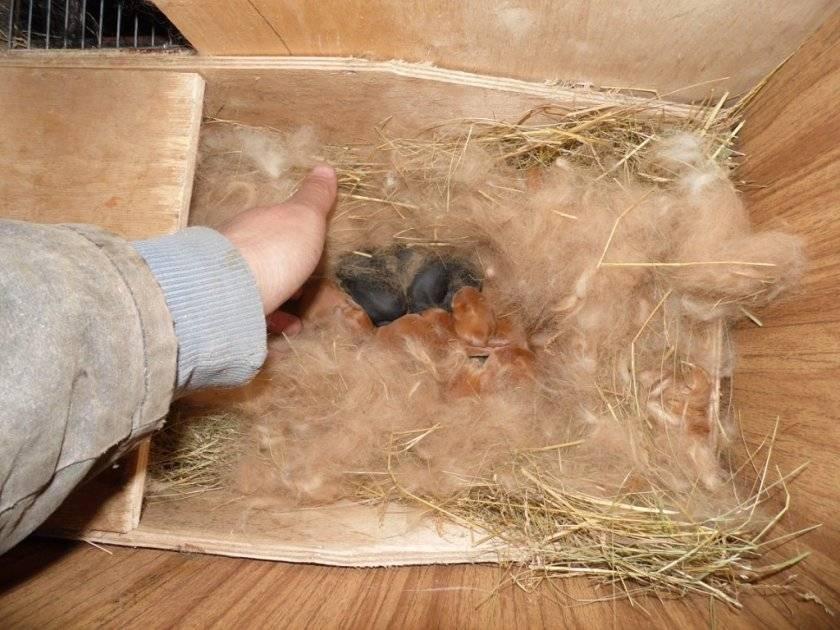 Кастрация кролика: показания к операции, плюсы и минусы, способы проведения
