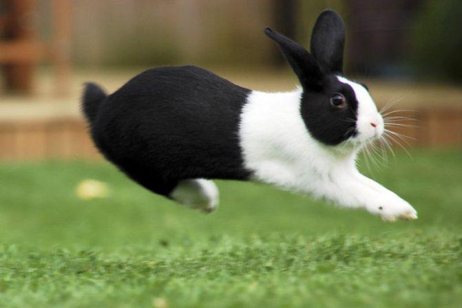 Короткошерстный кролик цветной карлик: характер и содержание, стандарт породы