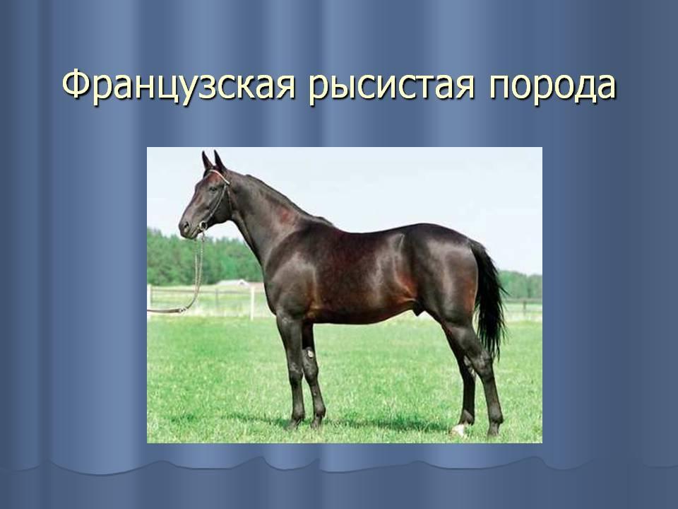 Русский рысак: описание породы, характеристика, фото